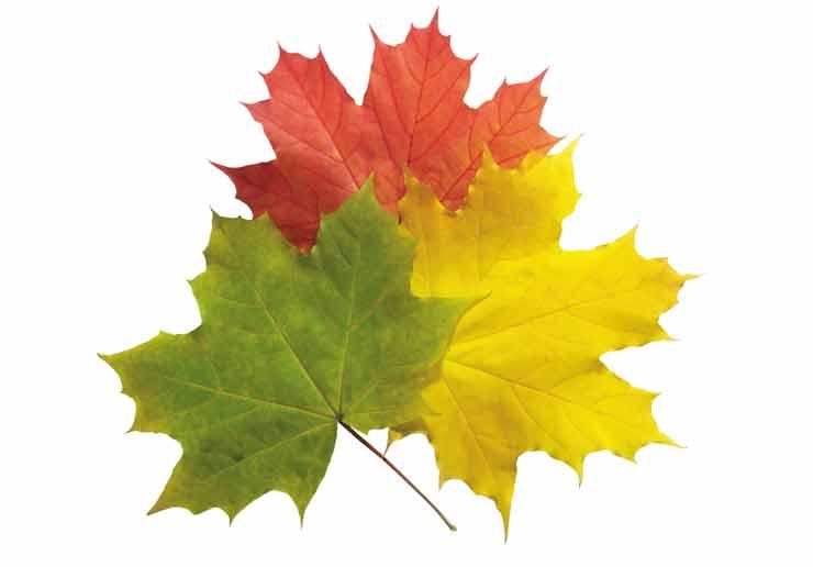 Осень, листья, клён